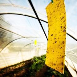 10 Οικολογικές παγίδες εντόμων 10 x 23 εκ. Ιδανικές για Μελίγκρες - Αλευρώδη - Μύγες