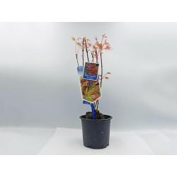 Acer Palmatum Phoenix - 1 δεντράκι 25-35 εκ