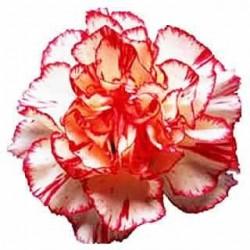 Γαρύφαλλα / Carnation Σπόροι 0,40γρ μίγμα χρωμάτων γαρυφαλλιάς!