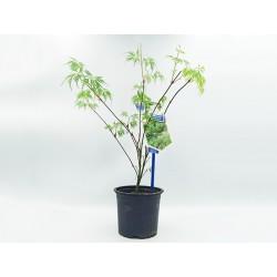 Acer Palmatum emerald lace - 1 δεντρακι