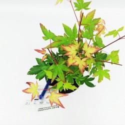 Acer Palmatum Little Princess- Δεντράκι 25εκ.