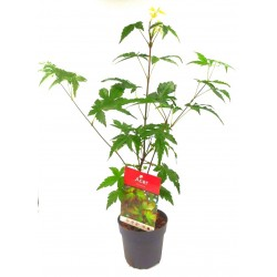 Acer Palmatum 1 Δεντράκι 25-30εκ.