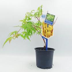 Acer Palmatum Δεντράκι Sango Kaku - 1 Tεμ Μπονσαι