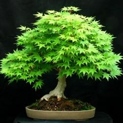 Ιαπωνικό Πλατάνι Πράσινο σφενδάμι 10 σπόροι- μπονσαι (Acer Palmatum)