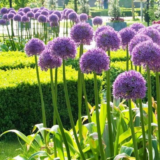 Αλλιουμ Purple Sensation - 5 Βολβοί