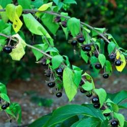 Atropa Belladonna/Μπελαντόνα 10 σπόροι