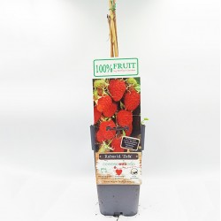 Φθινοπωρινό Raspbery (Κόκκινο σμέουρο) - 1 φυτό 50εκ.