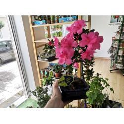 Μπονσαι Rhododendron Αζαλέα - Όμορφα ροζ άνθη! 1 φυτό 25-25 εκ.