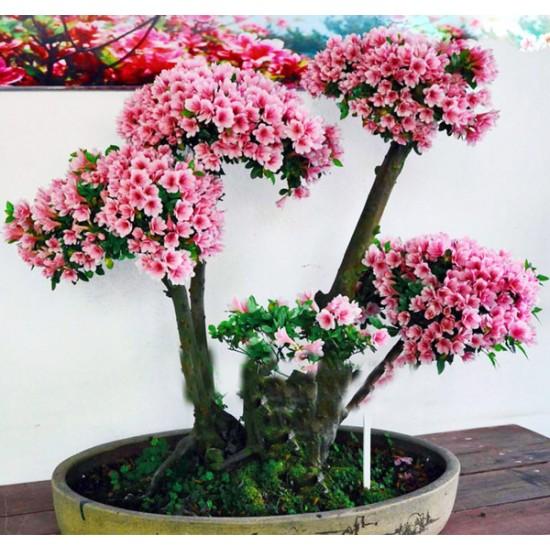 Αζαλεα/ Royal Azalea 20 Σπόροι Μπονσάι