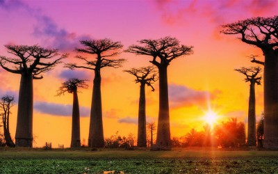 Baobab Δέντρο - Adansonia digitata
