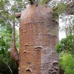 Μπαομπάμπ Δέντρο (Baobab/Adansonia Digitata) 7 Σπόροι