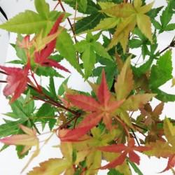 """Ιαπωνικό Πλατάνι Acer Palmatum """"Beni Maiko"""" 1 Tεμ."""
