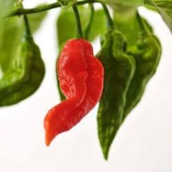 Τζολόκια/Bhut Jolokia  5 σπόροι. Η πιο διάσημη Καυτερη Πιπεριά