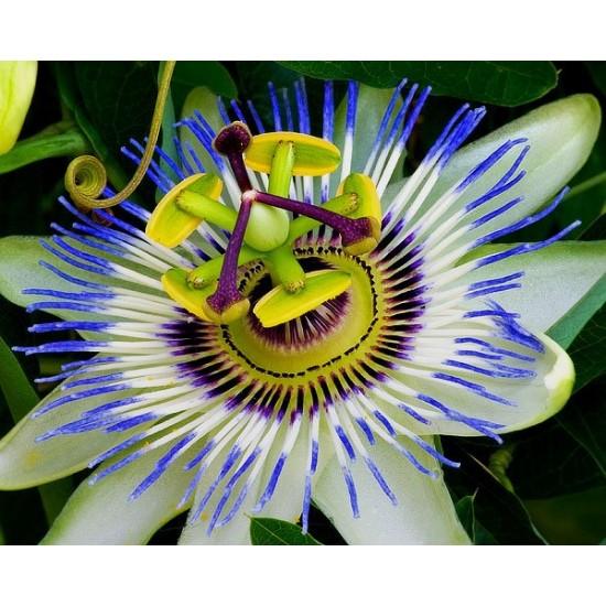 Ρολογιά/Ρολογάκι Πασίφλορα/Blue Passion (passiflora) 0,35γρ Σπόροι