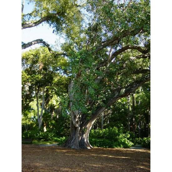 Bodhi Tree,Το άγιο δένδρο/Ficus religiosa 25 Σπόροι