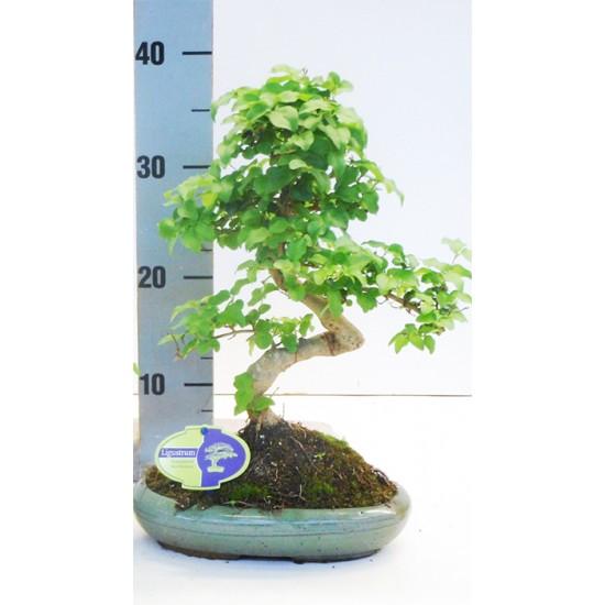 Αυθεντικό μπονσαι δενδράκι Ligustrum Sinense εσωτερικού χώρου 30εκ ύψος.