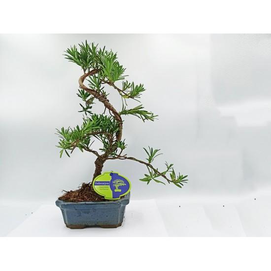 Αυθεντικό Μπονσαι Podocarpus 1 δεντράκι