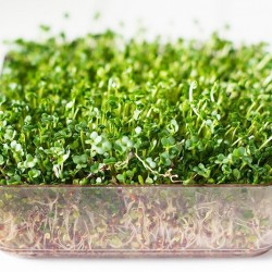Microgreens - 30 σπόροι / Φύτρες ταχείας ανάπτυξης Μπρόκολο Calabrese