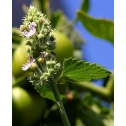 Κάτνιπ/Catnip (Nepeta cataria/Νεπετα ) 30 σπόροι