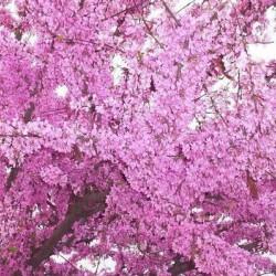 Cercis siliquastrum, Judas Tree (Κουτσουπιά) 10 σπόροι