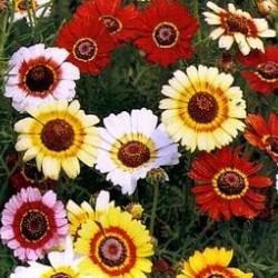 Χρυσάνθεμο Σπόροι / Crisantemo seeds 0,80γρ
