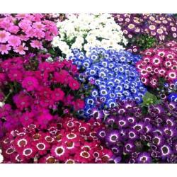 Σινεράρια Ανάμικτα Χρώματα Σπόροι - 0,1γραμ. Σπόρων