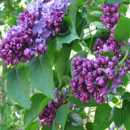 Common Lilac (syringa Vulgaris) 10 Σπόροι Μπονσαι