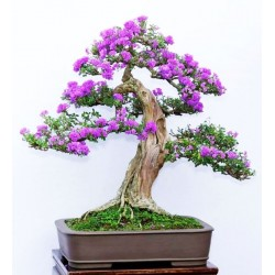 Common Lilac (syringa Vulgaris) 10 Σπόροι Μπονσαι