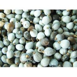Το Δάκρυ της Παναγιάς - 6 σπόροι