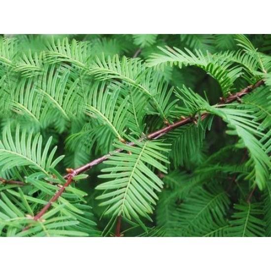 Dawn Redwood (Metasequoia glyptostroboides) 10 Σπόροι Μπονσάι