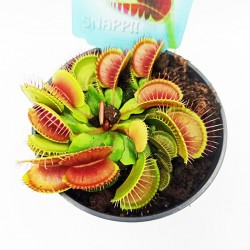 Διωναία Φυτό στο γλαστράκι του - 1 Τεμάχιο