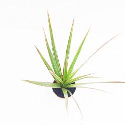 Δράκαινα (Marginata bicolor)  20 εκ. - 1 φυτό