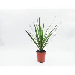 Δράκαινα (Marginata)  20 εκ. - 1 φυτό