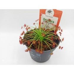 Drosera paradoxa - Δροσέρα σαρκοφάγο φυτό