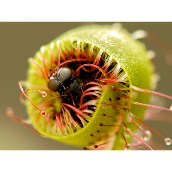 Drosera capensis - Δροσέρα σαρκοφάγο φυτό