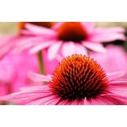 Εχινάκεια/Εχινάτσια (echinacea purpurea) 1 Βολβος