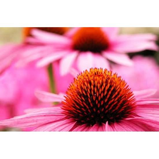 Εχινάκεια/Εχινάτσια (echinacea purpurea) 20 Σπόροι