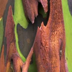 Ευκάλυπτος ουράνιο Τόξο (Eucalyptus Deglupta) - 20 Σπόροι Ευκάλυπτου