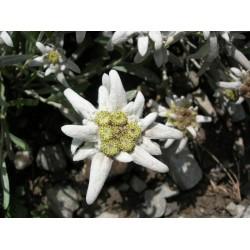 Εντελβαις Σπόροι / Stella Alpina / Edelweiss 0,05γρ