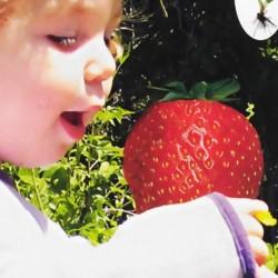 Φράουλα γίγας 20 Σπόροι