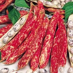 Φασόλι Μπουρλότο Χάντρα 65γρ. Σπόροι Φασολιών