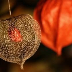 Φυσαλίδα (Physalis alkekengi) πακέτο σπόροι 0,25γρ.