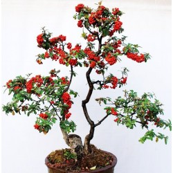 Scarlet Firethorn Bonsai - 15 σπόροι