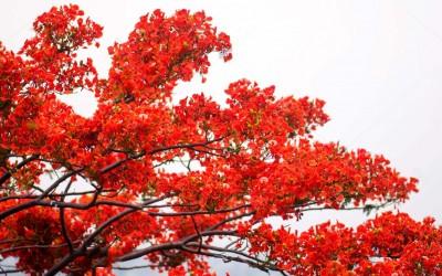 Δέντρο της φωτιάς ή φλογόδεντρο