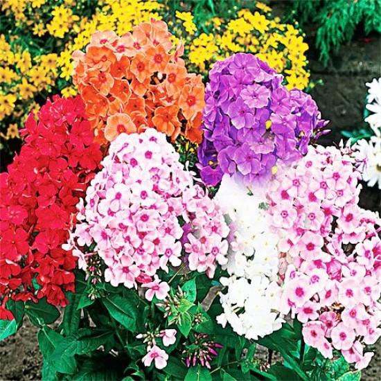 Φλοξ (phlox) Φλοξάκι Πακέτο Σπόρων Ανάμικτα χρώματα 1γρ