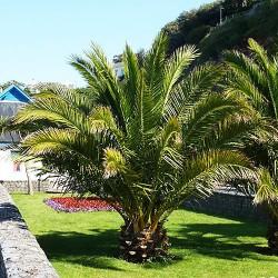 Φοίνικας Palm tree (Phoenix Canariensis) 5γρ. Σπόρων
