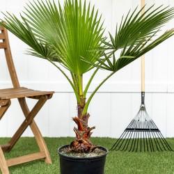 Φοίνικας Palm tree (Washingtonia) 1γρ. Σπόρων