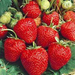 Φράουλα Fragaria Ananassa Korona 3 ρίζες