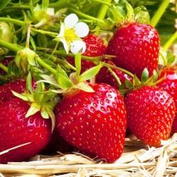 Φράουλα Fragaria Ananassa Ostara 3 ρίζες