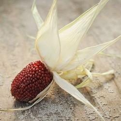 Καλαμπόκι / Φράουλα - Red Popping Corn - 20 Σπόροι